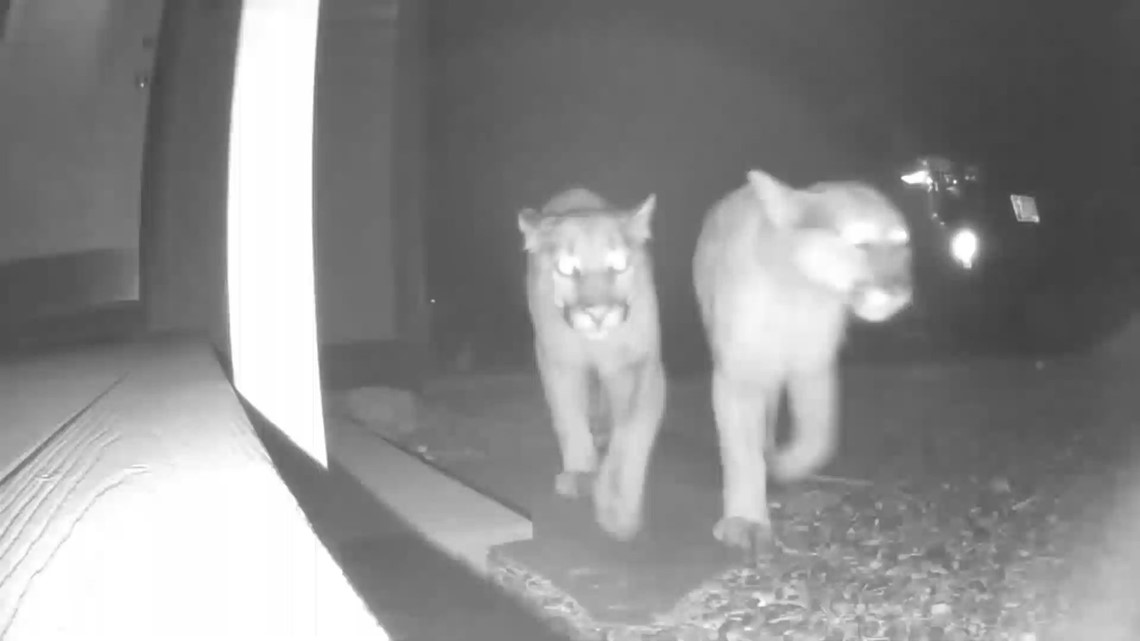 3 mountain lions were captured on camera roaming the town of Colorado